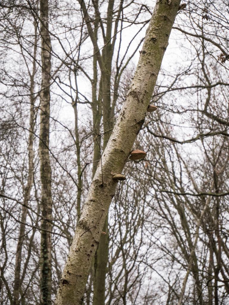 Fomitopsis betulina Piptoporus betulinus Polypore du bouleau sur arbre bouleau